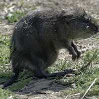 Muskrat on the Ground at Horicon Marsh