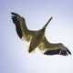 Pelican in flight with wings spread, full underside view