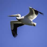 Pelican soaring high above the Marsh