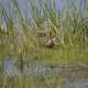 Pied Billed Grebe in the tall grass