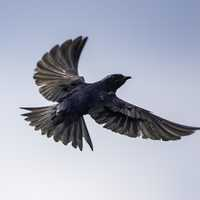 Purple martin spreading its wings in flight