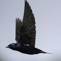 Purple Martin with wings in flight