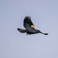 Red Winged Blackbird flying away