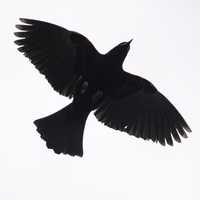 Red Winged Blackbird hovering overhead