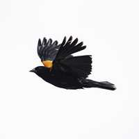 Red-winged blackbird in full flight