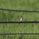 Small Bird sitting on the Rope at Horicon Marsh