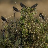 Small Blackbirds sitting on a bush