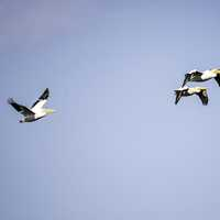 Three Pelicans flying in the air