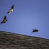 Three Swallow on the roof
