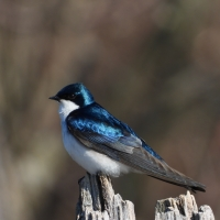 Tree Swallow on stump