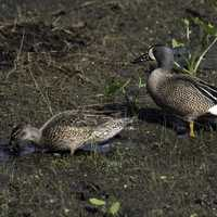 Two Blue-winged Teals foraging on the ground