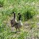 Two Canadian Geese in the Grass