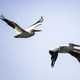 Two pelicans in flight over the marsh