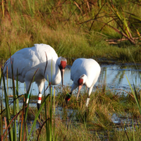 Two whooping cranes in Horicon Marsh
