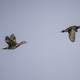 Two Wood Ducks in Flight
