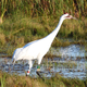 Whooping Crane in the Marsh