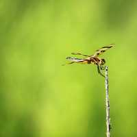 Dragonfly at Horicon National Wildlife Refuge
