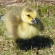 Young Gosling yellow fuzz