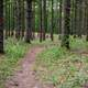 Trail through the Pine Forest