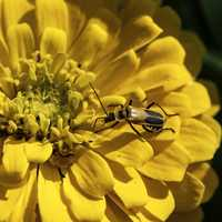 Yellow beetle on yellow flower