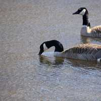 Canadian Geese at Kettle Moraine South, Wisconsin