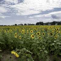Blossoming sunflowers in the farm under the clouds