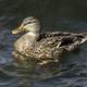 Duck swimming in Lake Mendota in Madison