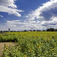 Farm sunflowers with streaks of clouds in the sky at Pope Conservancy