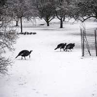 Groups of Turkeys in the snow