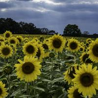 Large Sunflowers blooming at the Pope Conservancy Farm