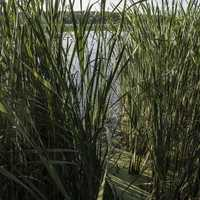 Looking through the reed grass at Cherokee Marsh