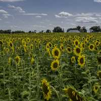 Lots of sunflowers at Pope Conservancy Farm