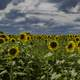 Many heads of sunflowers under clouds