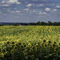 Straight rows of yellow sunflowers across the farm