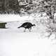 Turkey foraging in the snow