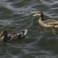 Two Ducks swimming in Lake Mendota in Madison