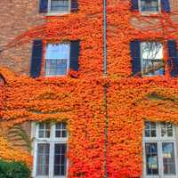 Vines growing on walls in Madison, Wisconsin