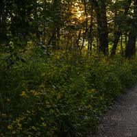 Yellow sunlight through the trees on the hiking path with flowers