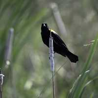 Red Winged Blackbird standing on grass in Marsh