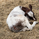 Calf lying in the hay