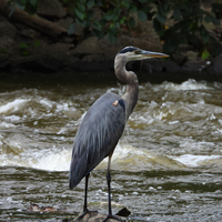 Blue Heron waiting for a fish