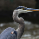 Close Up of Blue Heron
