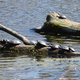 Several turtles sitting on a log in Camrock County Park