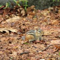 Small Chipmunk at Rib Mountain State Park, Wisconsin