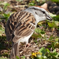 Chipping Sparrow carrying twig