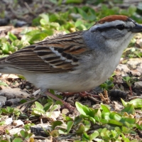 Chipping Sparrow Closeup