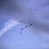 Geese flying in V Formation at Ferry Bluff, Wisconsin
