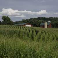 Rows of corn crops with barn