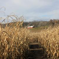 Corn maze in Southern Wisconsin