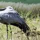 Blue Crane Preening Itself at Crane Foundation